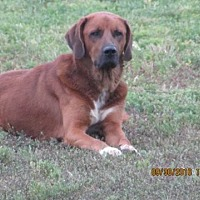 Anatolian Shepherd/Rhodesian Ridgeback Mix Dog for adoption in Melbourne, Arkansas - Merlin