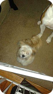 Shih Tzu/Maltese Mix Dog for adoption in Waldorf, Maryland - Mia