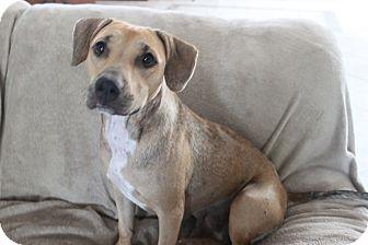 Labrador Retriever/Boxer Mix Dog for adoption in Wellington, Florida - DAISY