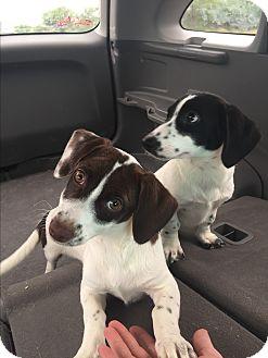Dachshund Mix Puppy for adoption in Hartford, Connecticut - Millie
