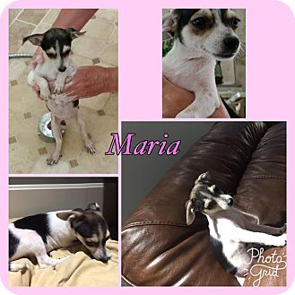 Chihuahua/Rat Terrier Mix Puppy for adoption in Washington, D.C. - Maria RBF