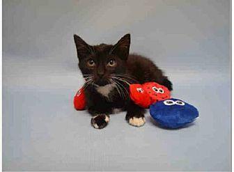 American Shorthair Kitten for adoption in Bridgewater, New Jersey - HARLEY