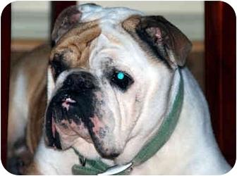 English Bulldog Dog for adoption in Pearland, Texas - Teddy