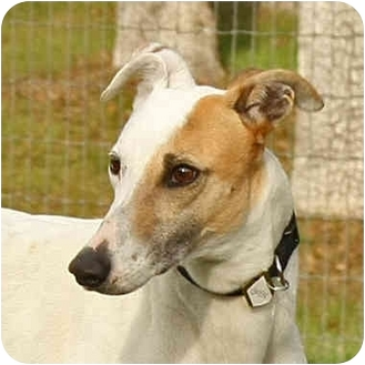 Greyhound/Whippet Mix Dog for adoption in Santa Rosa, California - Gwen
