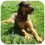 Photo 1 - German Shepherd Dog/Rottweiler Mix Dog for adoption in Latrobe, Pennsylvania - Lena