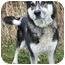 Photo 3 - Alaskan Malamute/German Shepherd Dog Mix Dog for adoption in Ladysmith, Wisconsin - Cherokee