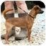 Photo 4 - Chihuahua Mix Dog for adoption in Cleveland, Georgia - Radar