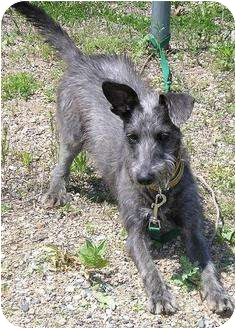 Terrier (Unknown Type, Small) Mix Dog for adoption in Glenwood, Minnesota - Sparky