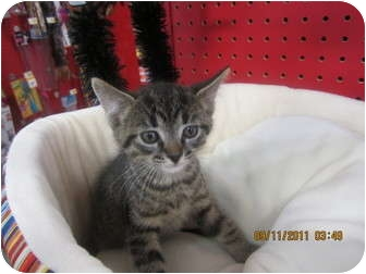 Domestic Shorthair Kitten for adoption in Sterling Hgts, Michigan - Tenny