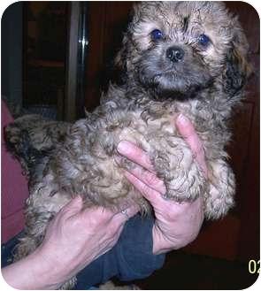 Pekingese/Cocker Spaniel Mix Puppy for adoption in Washburn, Missouri - Striker