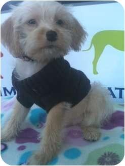 Poodle (Miniature)/Terrier (Unknown Type, Small) Mix Puppy for adoption in Santa Monica, California - LUIGI