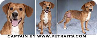 Beagle Mix Puppy for adoption in Chicago, Illinois - Captain
