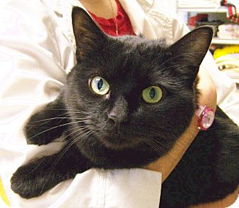 Domestic Shorthair Cat for adoption in Toledo, Ohio - Jinx