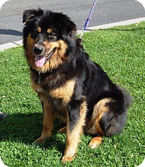 Golden Retriever/Rottweiler Mix Dog for adoption in West Los Angeles, California - Lobo