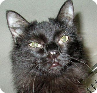 Domestic Longhair Cat for adoption in Winchester, California - Julia
