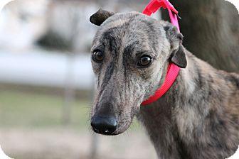 "Greyhound Dog for adoption in Smyrna, Tennessee - Bold and Best ""Best"""