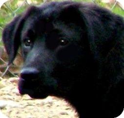 Labrador Retriever/Golden Retriever Mix Puppy for adoption in Wakefield, Rhode Island - RAIN(ADORABLE GOLDEN/LAB PUPPY