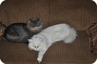 Persian Cat for adoption in Winder, Georgia - * LILLIE & MILLIE
