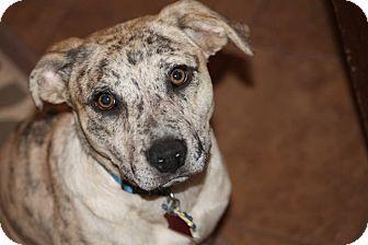 Labrador Retriever/Australian Shepherd Mix Puppy for adoption in Syracuse, New York - Cracker Jack  I'm in New York