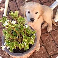 Adopt A Pet :: Duke - New Canaan, CT