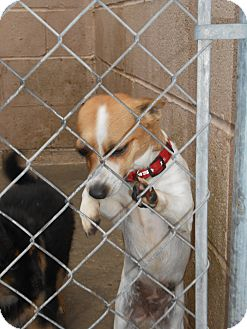 Chihuahua/Jack Russell Terrier Mix Dog for adoption in Falls Mills, Virginia - Abby