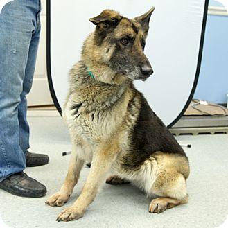 German Shepherd Dog Mix Dog for adoption in Martinsville, Indiana - Tippy
