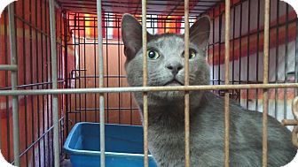 Russian Blue Cat for adoption in Darlington, South Carolina - Toulouse