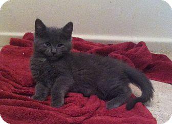 Russian Blue Kitten for adoption in Riverhead, New York - Spike