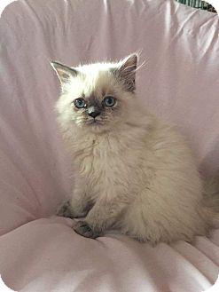 Himalayan Kitten for adoption in Hampton, Virginia - Sophies Baby 1