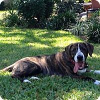Adopt A Pet :: Pork Chop - Irving, TX