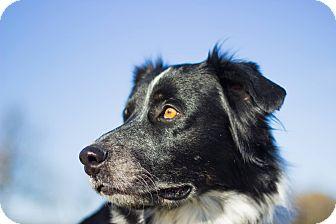 Australian Shepherd Dog for adoption in Georgetown, Kentucky - ROMEO