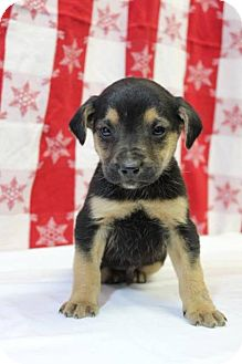 Catahoula Leopard Dog Mix Puppy for adoption in Danbury, Connecticut - Max