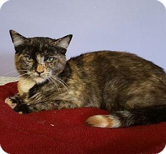 Domestic Shorthair Kitten for adoption in Springfield, Vermont - Luna