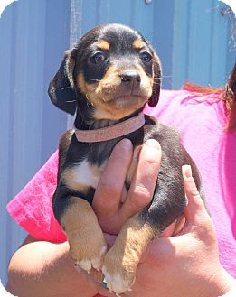 Terrier (Unknown Type, Medium) Mix Puppy for adoption in Oakdale, Louisiana - Pink Collar