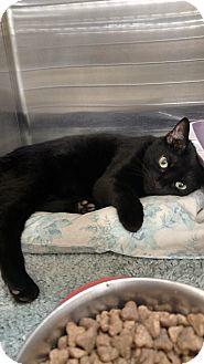 Domestic Shorthair Cat for adoption in Irwin, Pennsylvania - Nala