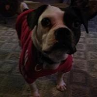 French Bulldog/Boston Terrier Mix Dog for adoption in Vermilion, Ohio - Baby Girl