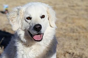 Kuvasz Mix Dog for adoption in Colorado Springs, Colorado - Shiva