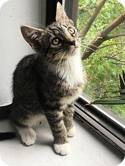 Hemingway/Polydactyl Kitten for adoption in Brooklyn, New York - Goober