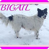 Adopt A Pet :: ABIGAIL - Manchester, NH