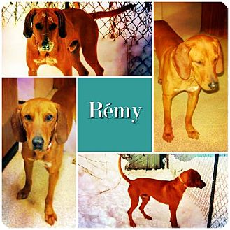 Redbone Coonhound Dog for adoption in Ontario, Ontario - Remy ADOPTED