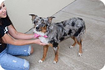 Border Collie Mix Dog for adoption in Allen, Texas - Sula