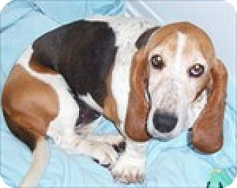 Basset Hound Dog for adoption in Charleston, South Carolina - Gracie Lu