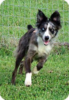 Border Collie/Australian Shepherd Mix Dog for adoption in Highland, Illinois - Reno