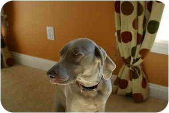 Weimaraner Dog for adoption in Attica, New York - Faith