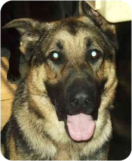 German Shepherd Dog Mix Dog for adoption in Coudersport, Pennsylvania - ROO