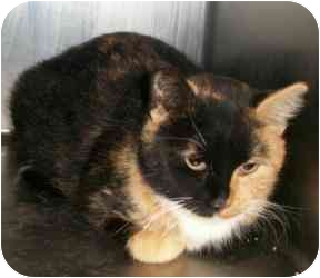 Calico Cat for adoption in Shenandoah, Iowa - Isabel