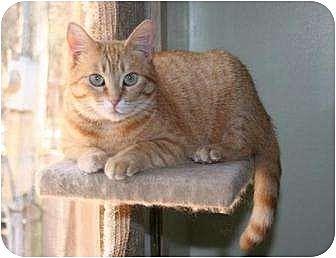 Domestic Shorthair Cat for adoption in Houston, Texas - Rose