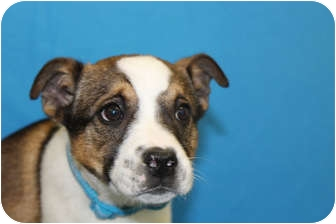 Boxer/Akita Mix Puppy for adoption in Broomfield, Colorado - Turner