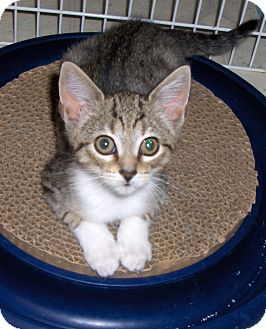 Domestic Shorthair Kitten for adoption in Richmond, Virginia - Flurry