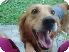 Golden Retriever Dog for adoption in Knoxville, Tennessee - Lilly